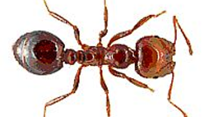 Near-infrared (thermal) cameras combat plague of fire ants by locating nests more quickly than people on foot
