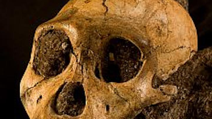 X-ray tomography images the skull and brain of MH1 Australopithecus sediba, an early human ancestor