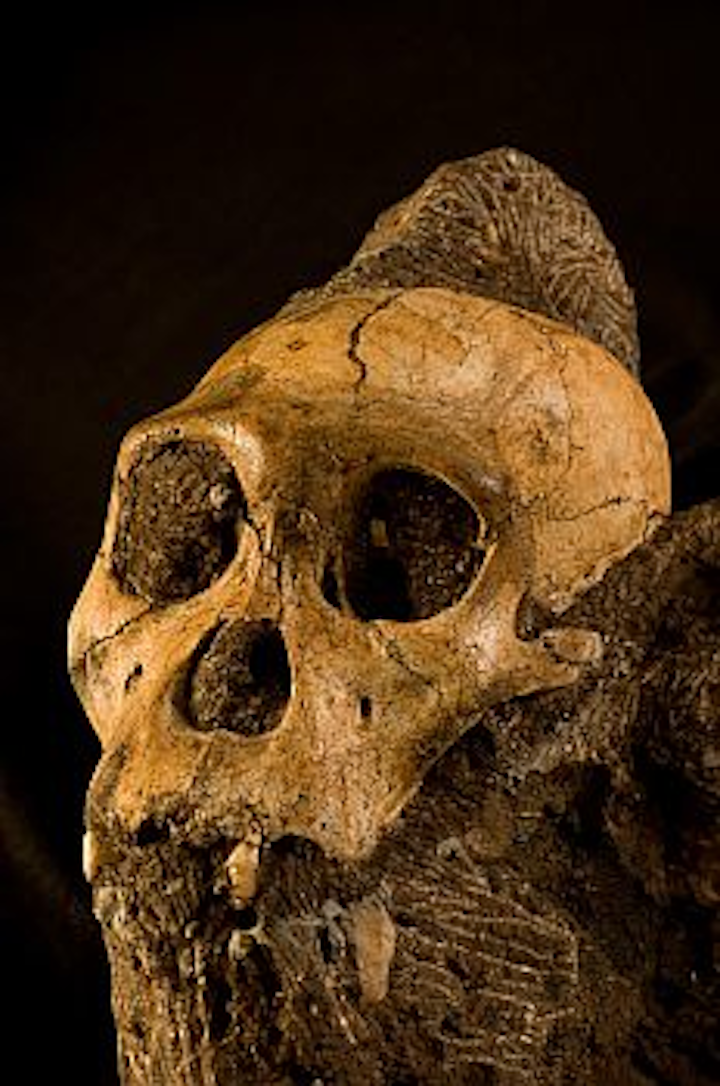 X-ray tomography images the skull and brain of MH1 Australopithecus sediba, an early human ancestor