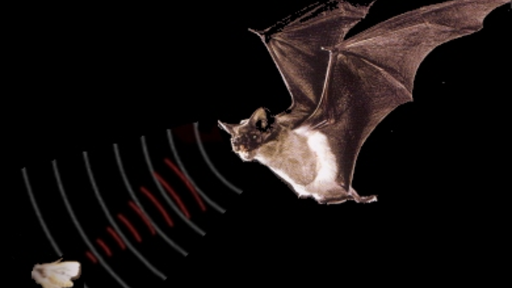 To identify what gives natural biosonar systems the edge over human-made technologies, professor Nathan Intrator of Tel Aviv University's Blavatnik School of Computer Science has teamed up with Brown University's (Providence, RI, USA) professor Jim Simmons to study bats' biosonar capabilities.