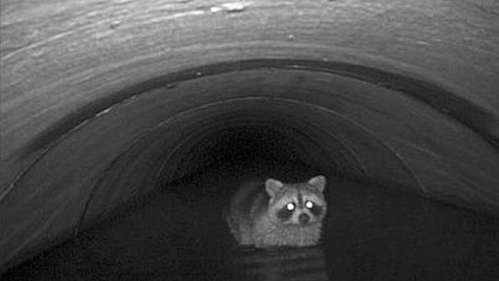 Appalachian Laboratory scientists are studying animal 'transit' patterns through underground storm drains using infrared motion-detecting cameras