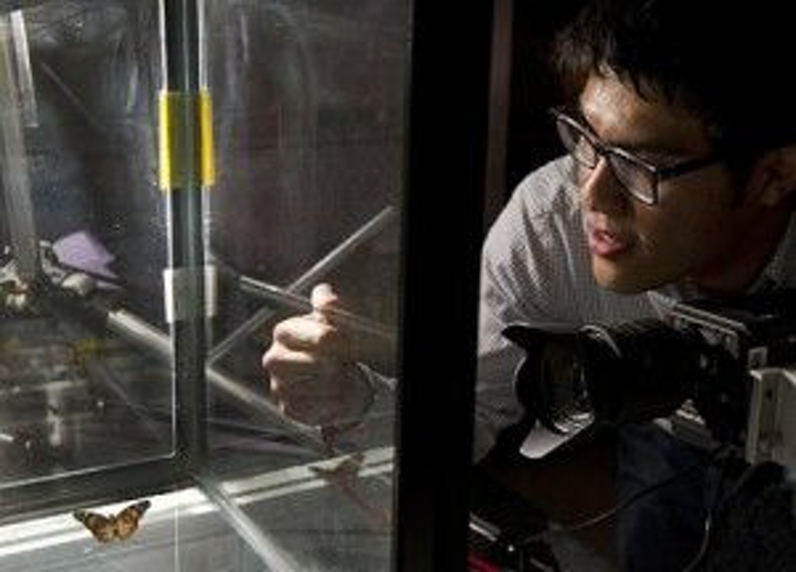 Johns Hopkins University undergrad Tiras Lin studies the motion of butterflies using a high-speed imaging system. The research may enable improved engineering of micro aerial vehicles (MAVs). (Image: Will Kirk/JHU)