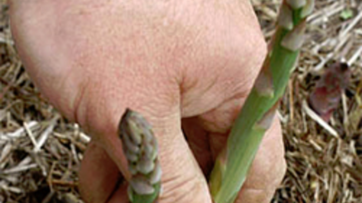 Asparagus harvested by robotic vision system
