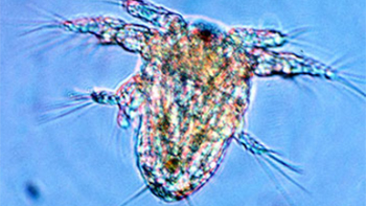 Researchers image the movement of copepods