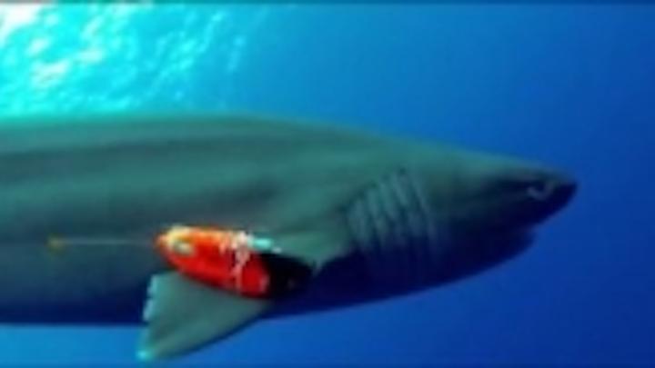 Content Dam Vsd En Articles 2014 03 Cameras Provide Shark S Eye View Of The Ocean Leftcolumn Article Thumbnailimage File