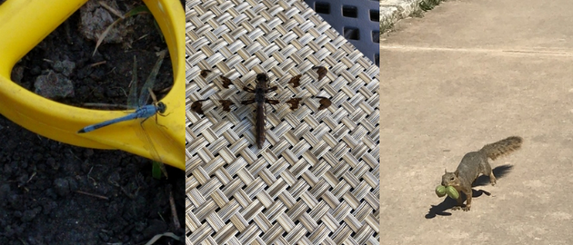 Not a banana (left), manhole cover (center), or green iguana (right).